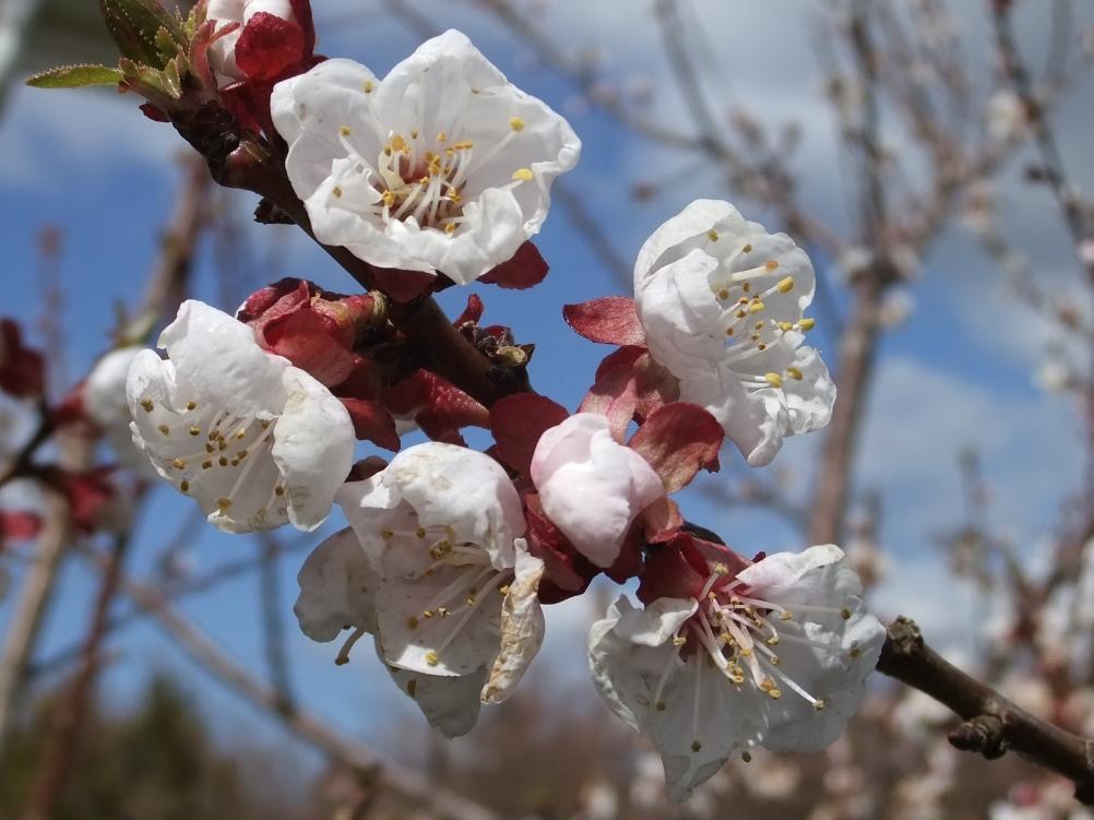 Aprikos blomma Eva Rogsten.JPG 2012-05-04